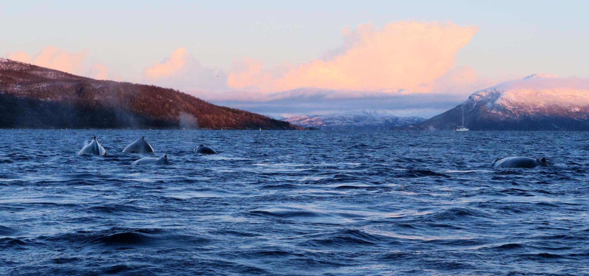 Whales in the sea outside Skjervøy, Northern Norway