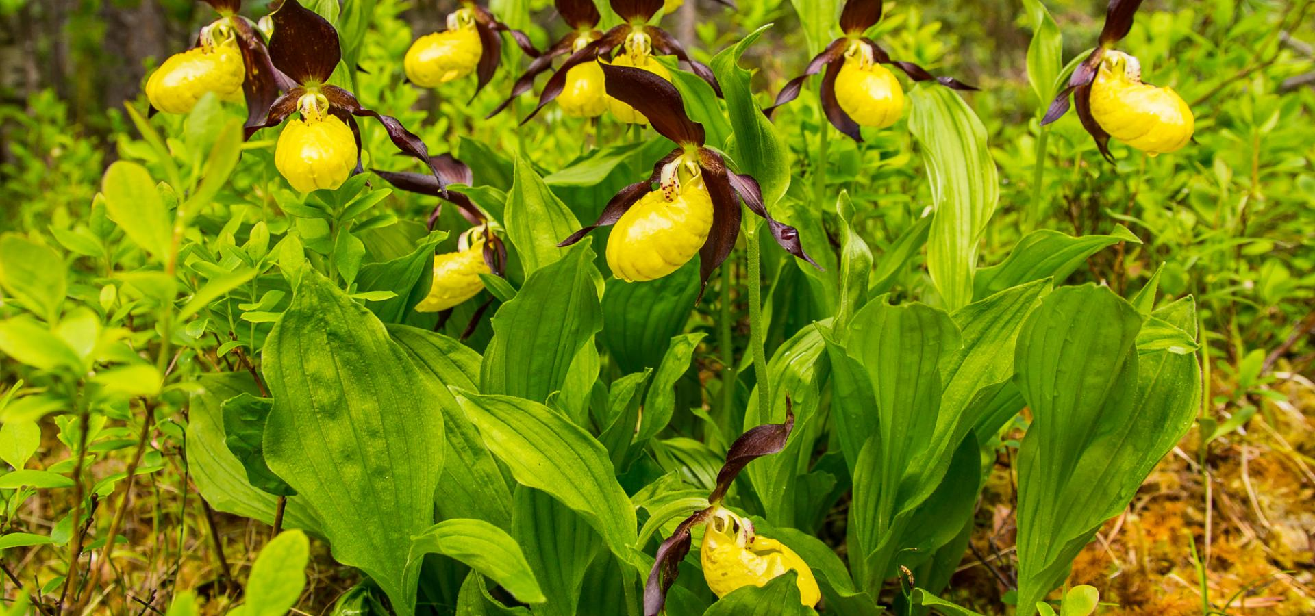 Lady's slipper in full bloom