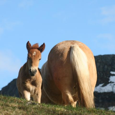 Two Lyngen horses in the mountains