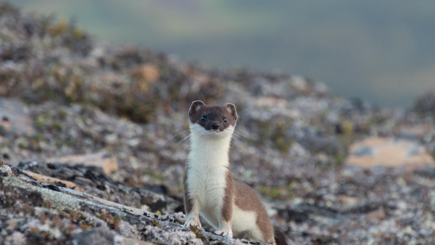 Weasel on rocky ground